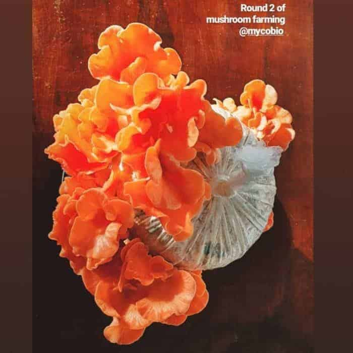 Pink Oyster Mushroom mini-farm grow kit
