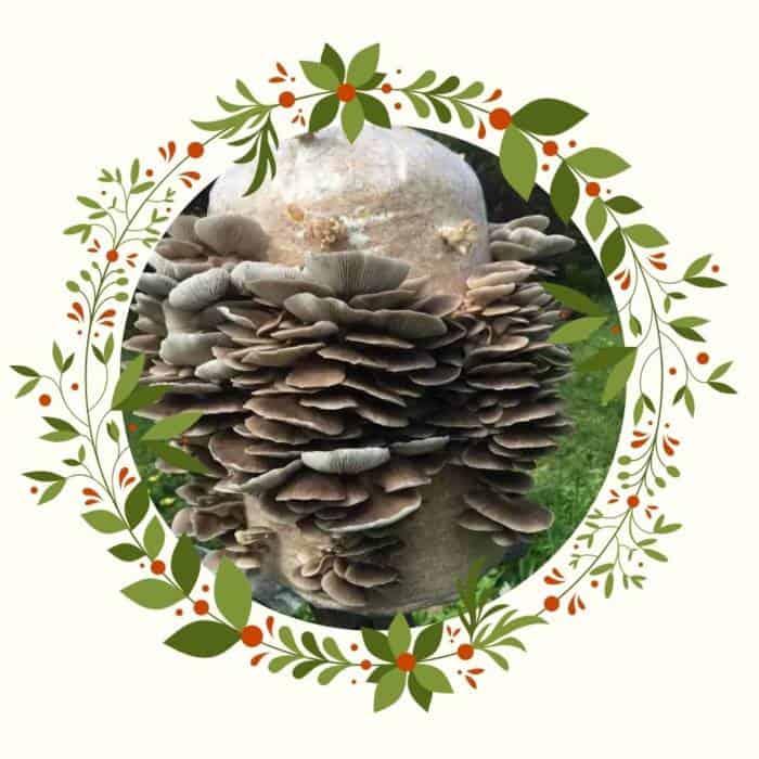 grow your own oyster mushroom kit